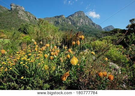 Kirstenbosch botanical gardens against the backdrop of Table mountain, Cape Town, South Africa