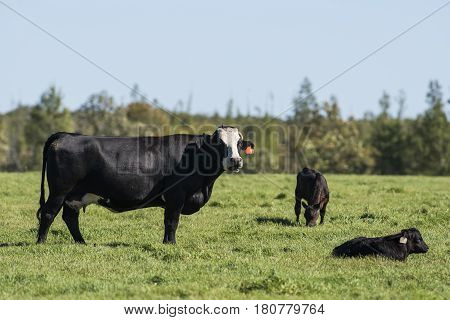 A mother cow with her calf in a pasture