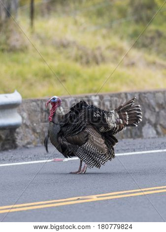 A wild Turkey strutting in a road