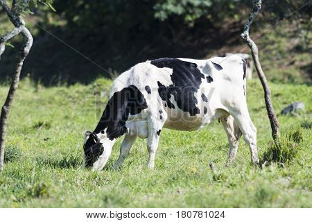 A Holstein cow in a pasture in Hawaii