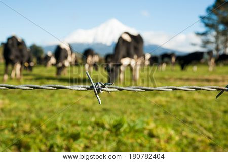 Rural image barbed wire fence strand with blurred black and white dairy cattle and Mount Egmont background.