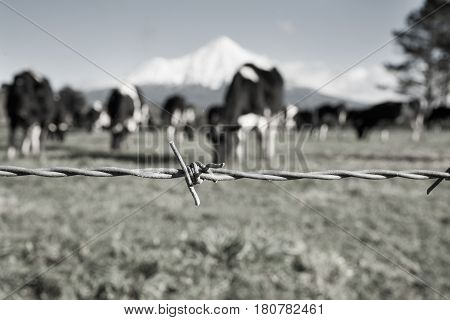 Monochrome rural image barbed wire fence strand with blurred black and white dairy cattle and Mount Egmont background.