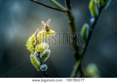 Hardworking bee on Goat willow in spring