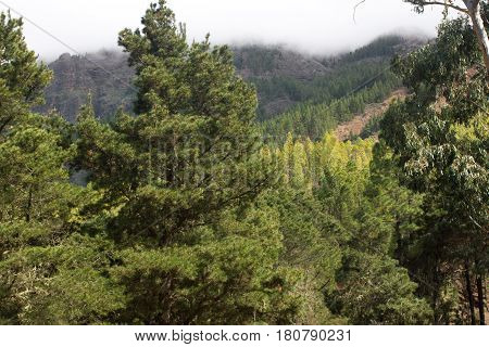 Beautiful panorama of pine forest with sunny summer day. Coniferous trees. Sustainable ecosystem. Tenerife, road to Teide volcano, Canary islands, Spain