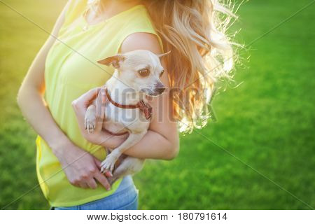 Cute chihuahua puppy dog sitting on a woman hands on a sunny day. People and pets concept.