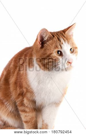portrait of red cat looking away isolated on white background.