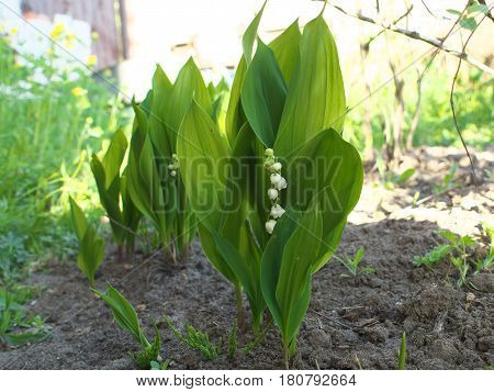 lily of the valley in my garden bed