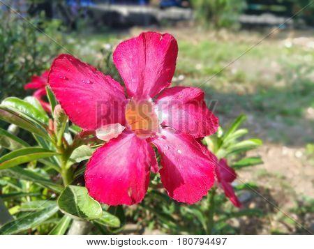 Desert rose, beautiful flower under sunlight, in the garden