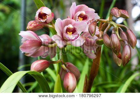Pink Cymbidium in pot. Flower and stem boat orchid