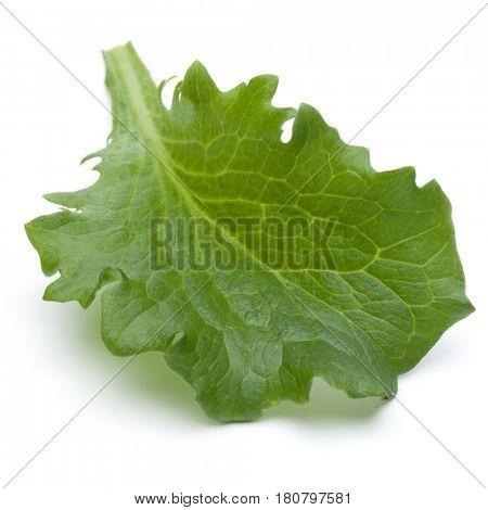 Close up studio shot of fresh green endive salad leaf isolated on white background.