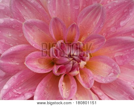 Pink Dahlia Flower Closeup With Water Droplets On Petals, Morning Dew, Macro Foto