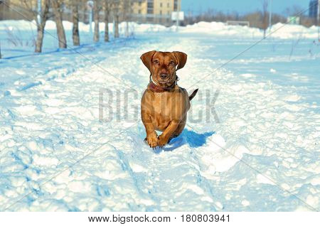 Dachshund dog running in the snow. Standard smooth-haired red dachshund, female.