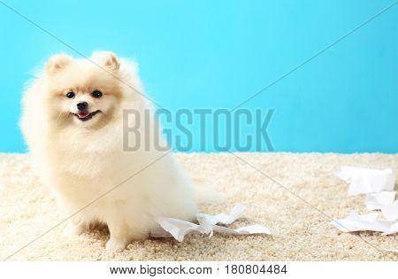 Pomeranian spitz dog with torn paper on carpet