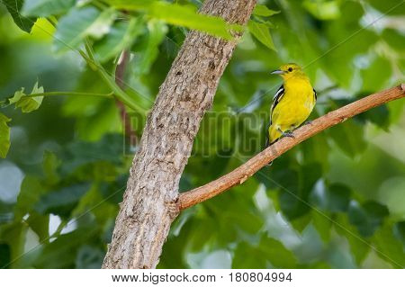 Image of bird (Green-backed Flycatcher; Ficedula elisae) on the branch on nature background. Wild Animals.