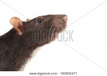 Cute funny rat on white background, closeup