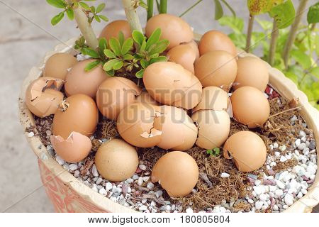 crushed egg shell used as natural fertilizer on potted plant