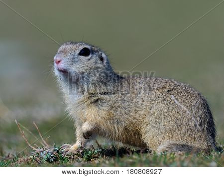 prairie dog on field in summer
