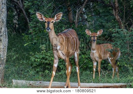 Nyala (Tragelaphus angasii) female and her young standing in the green woodlands at Marakele national park