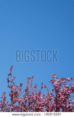 pink cherry blossoms treetop and clear sky background with copy space