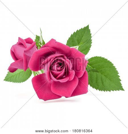 pink rose flower bouquet isolated on white background cutout