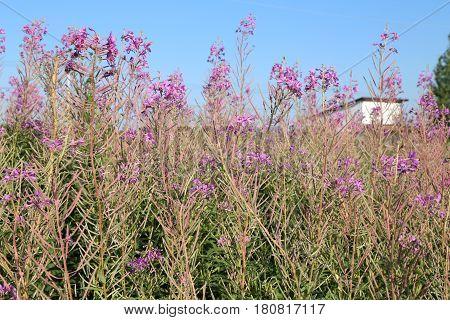 Cultivation of herbal Koporye tea or Blooming Sally on the summer field
