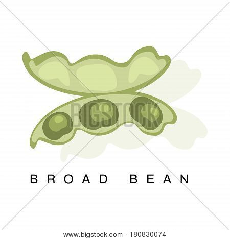 Broad Bean Pod, Infographic Illustration With Realistic Pod-Bearing Legumes Plant And Its Name. Farm Natural Food Product Vector Drawing With Description.