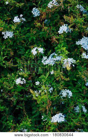 Flowering shrubs Plumbago in Perast. Plants of Montenegro.