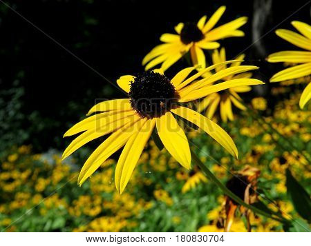 Clos-up of yellow Black Eyed Susan flowers in garden Black-eyed