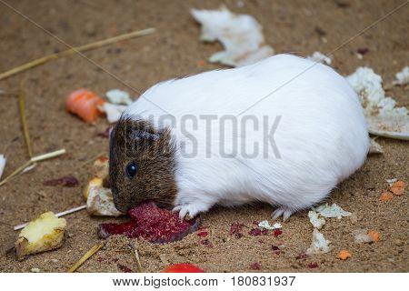 Guinea pig eats red beet (Cavia aperea f. porcellus)