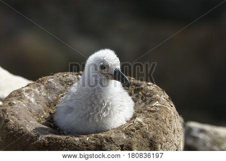 Black-browed albatross chick on Saunders Island, Falkland Islands