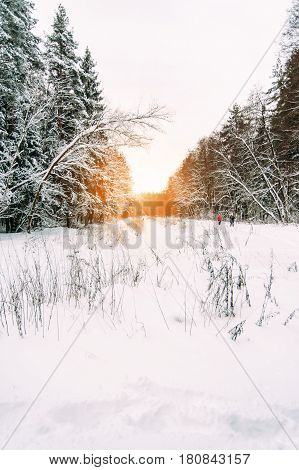 pine forest in winter snow solar flare