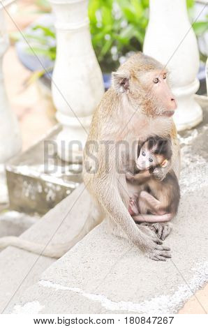 baby monkey and mother monkey or Long-tailed macaque monkey