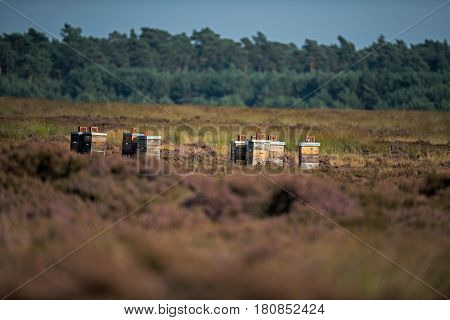 Bee boxes standing in moorland during summertime.