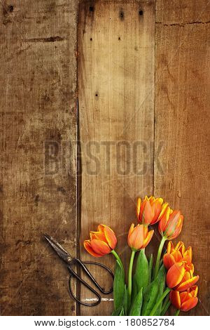 Overhead shot of a bouquet of orange and yellow tulips over a rustic wood table top with antique scissors. Flat lay overhead view style.