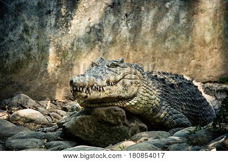 big green crocodile with a closed mouth and large teeth lying in the shade on the rocks
