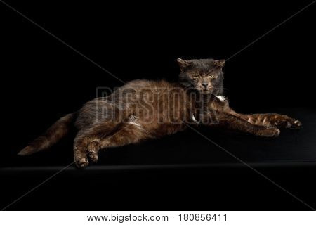 tranquility brown belly cat lying on isolated black background
