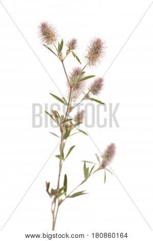Flora Of Gran Canaria - Trifolium Arvense