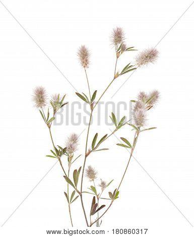 Flora Of Gra Canaria - Trifolium Arvense