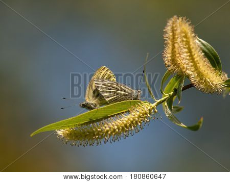 Two common blue butterflies Polyommatus icarus mate on spring Willow branch