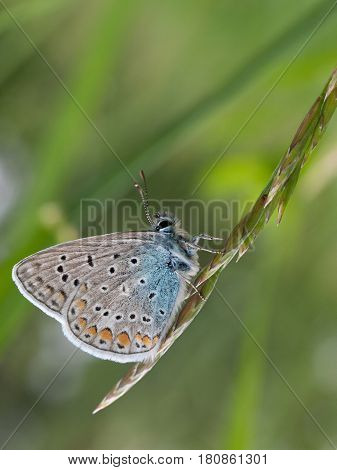 Common Blue butterfly (Polyommatus icarus) on wild grass closeup in summer.