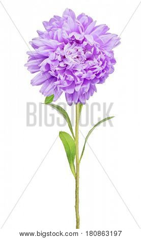 lilac color aster isolated on white background