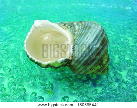 green turbo sea shell in turquoise water