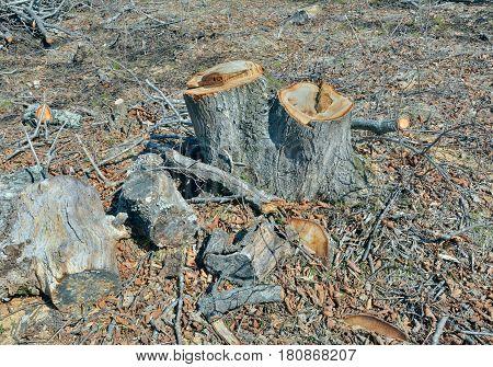 A landscape in forest after defotistation. Russian Far-East.
