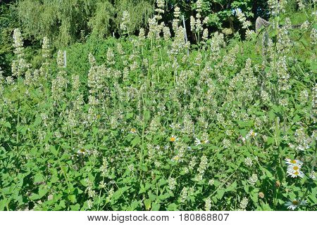 A close up of the medicinal an aromatic blooming plant lemon balm (Melissa officinalis).