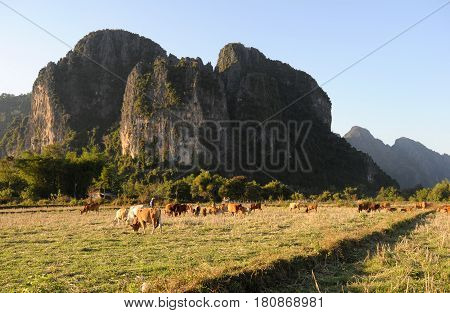 Cows grazing near the Vang Vieng village in Laos