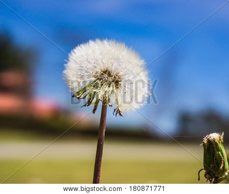 Seedlings of a Dandelion in the spring