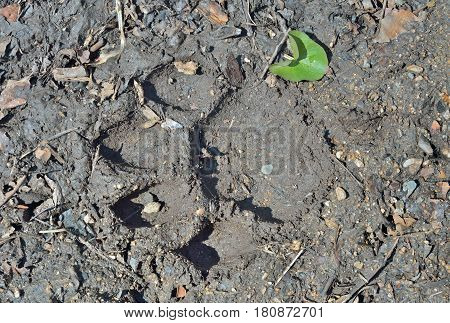 A close up of the footprint of Siberian tiger on ground.