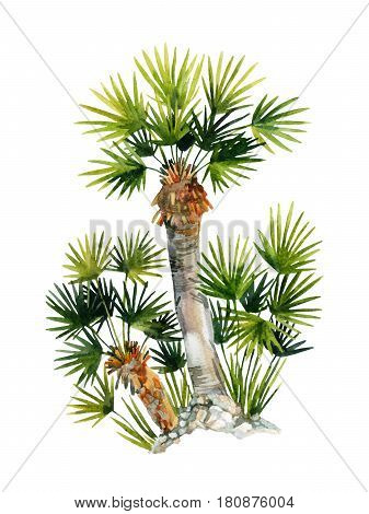 Watercolor natural fan palm trees isolated on white backgrouned. Hand painted nature illustration for summer design