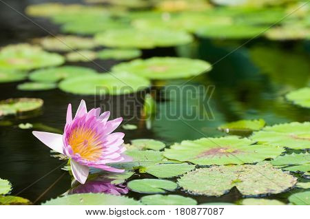 Pink Water Lilly, Outdoors Image, Color Image, Nature