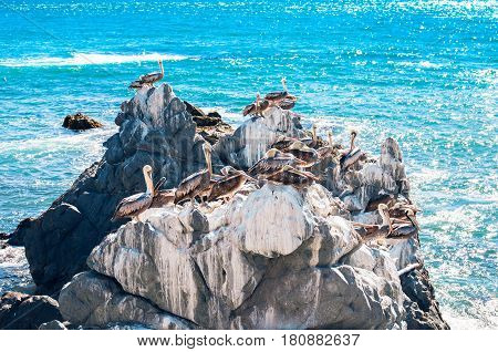 Brown pelicans resting on the rocks in Vina del Mar Chile